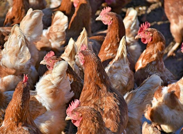 allevamento_polli