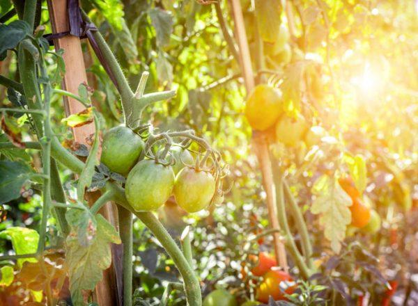 coltivazione_pomodori