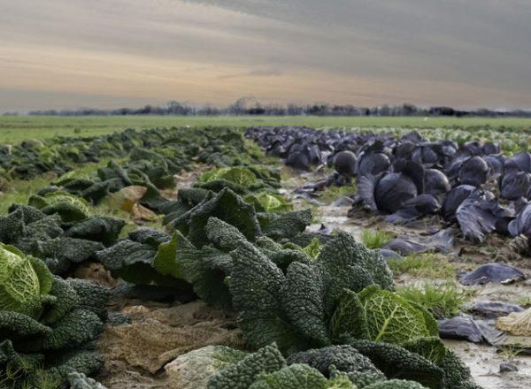 coltivazioni_foglia_larga