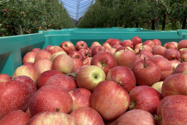 Ecofarm mele ozono celle di conservazione