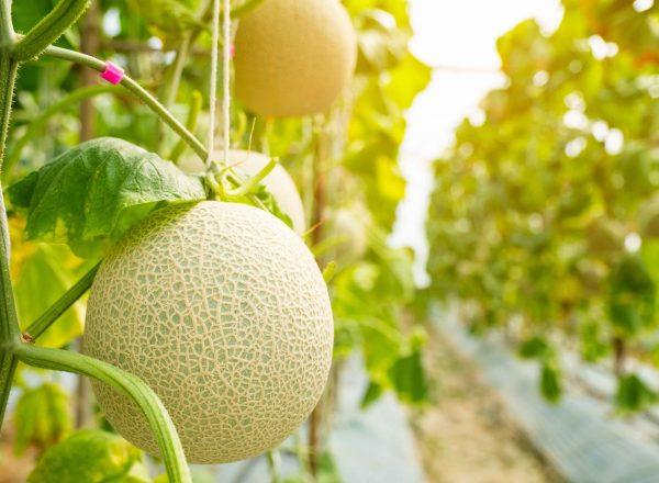 melone ecofarm ozono_1